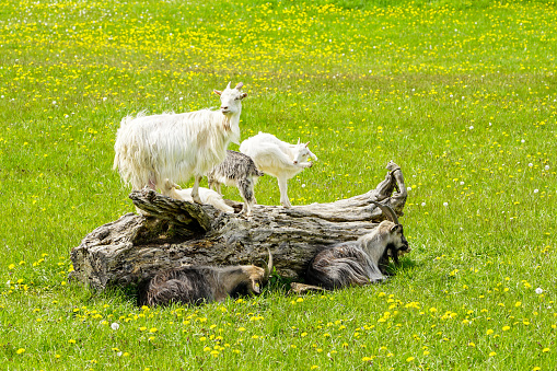 free-range goat family on a dry tree trunk in a green meadow with dandelions 1254867145