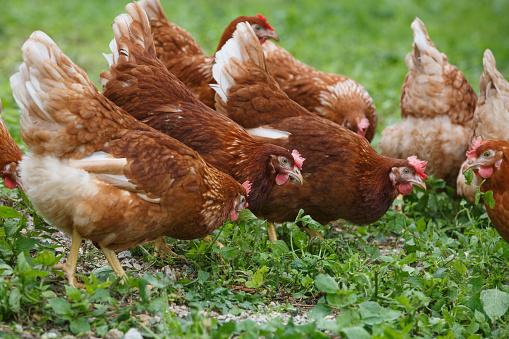 Free-range hens (chicken) on an organic farm 495588762