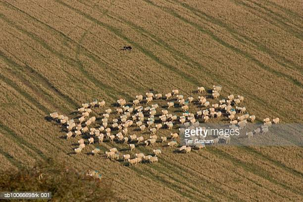 free-range sheep being herded together by a sheep dog at sheepdrove organic farm, lambourn, england - 食物連鎖 ストックフォトと画像