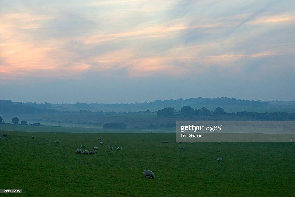 Sheep Grazing, England, UK : ニュース写真