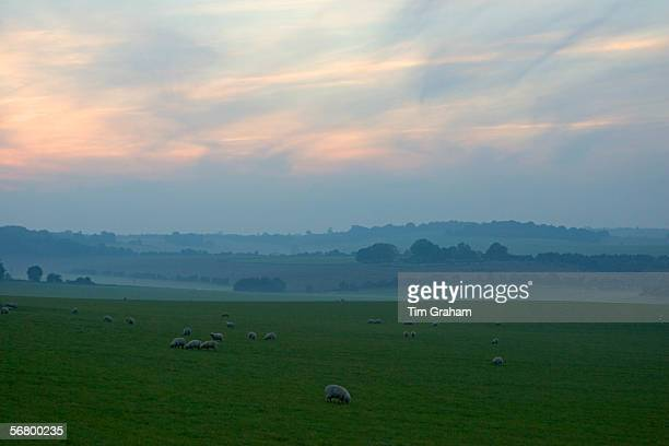Free-range sheep grazing in the mist on the Berkshire Downs at Sheepdrove Organic Farm, Lambourn, England.