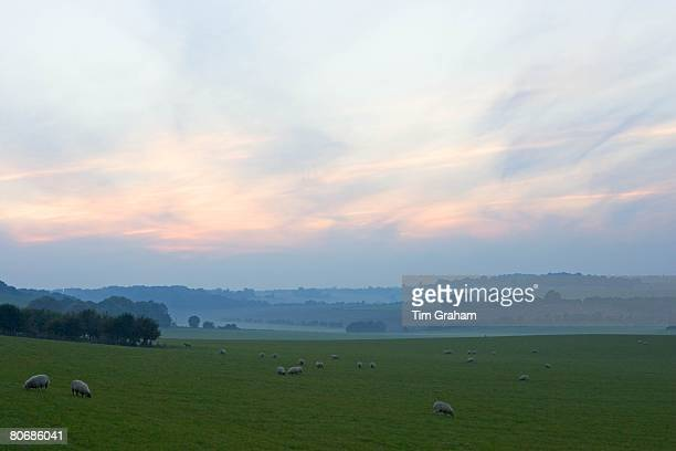 Free-range sheep grazing in the mist on the Berkshire Downs at Sheepdrove Organic Farm, Lambourn, England