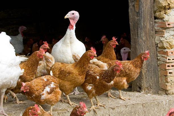 free-range turkeys and hens, gascony, france - bird flu