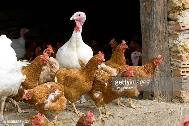 free-range turkeys and hens, gascony, france - 鳥インフルエンザウィルス ストックフォトと画像