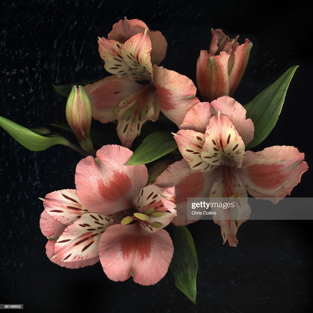 Freesia flowers on black surface : Foto stock