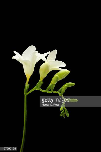 freesia, white flower, isolated on black, spring - freesia stock pictures, royalty-free photos & images