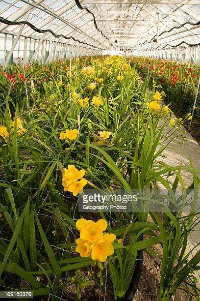 Freesias growing inside greenhouse Guernsey Freesia Centre St Sampson Guernsey