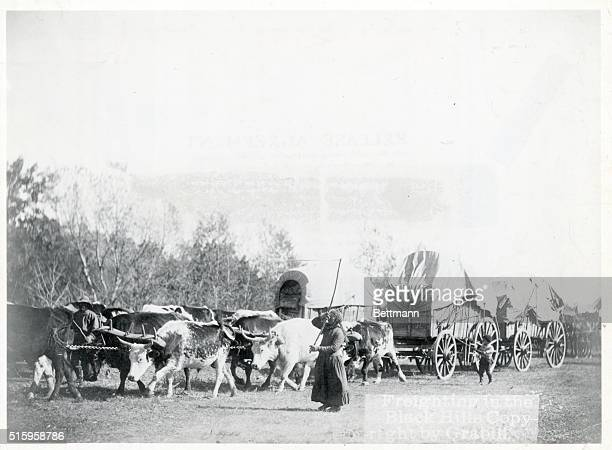 Freighting in the Black Hills View of oxen pulling doublehitched covered wagons Undated photograph