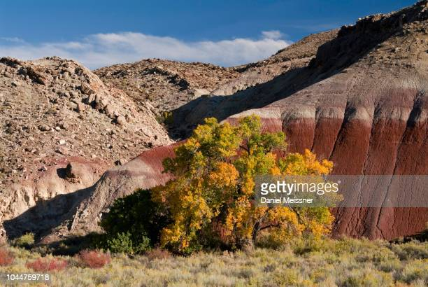 fremont cottonwood (populus fremontii) blue flats badlands, utah, usa - sandy utah stock pictures, royalty-free photos & images