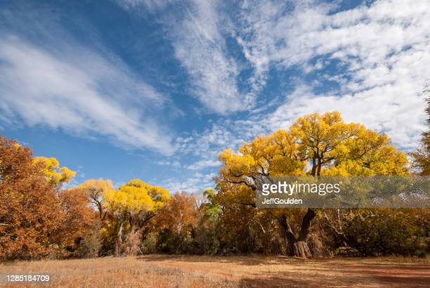 fremont cottonwood in the fall - jeff goulden stock pictures, royalty-free photos & images