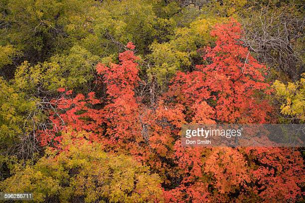fremont cottonwoods and big tooth maples - don smith stock pictures, royalty-free photos & images