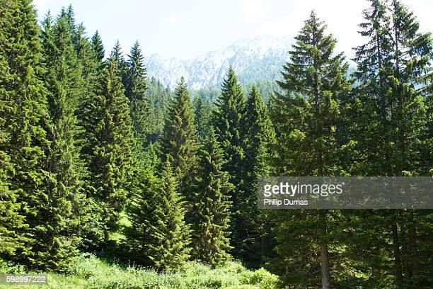 french alps pines - パイン材 ストックフォトと画像