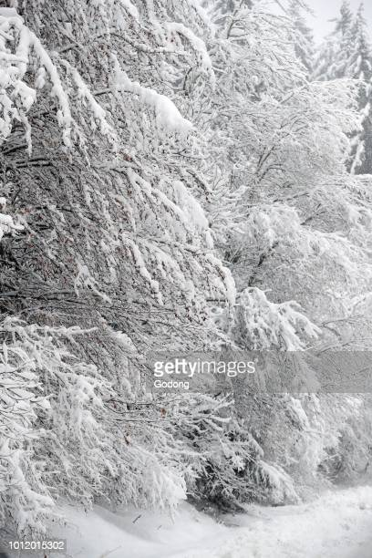 French Alps Snow covered trees in winter SaintGervais France
