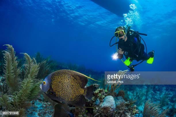 französischer kaiserfisch und taucher - sporttauchen stock-fotos und bilder