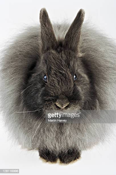 French Angora rabbit. Variety of domestic rabbit. Bred for its long, soft, silky wool/hair. Originated in Ankara, Turkey. (PR: Property released)