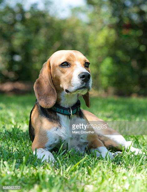 French Beagle