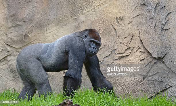 French born Western Lowland Gorilla male 12yearold Kibali explores the new Gorilla Forest exhibit at Taronga Zoo in Sydney on November 19 2013 The...