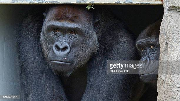 French born Western Lowland Gorilla male 12yearold Kibali with female Mbeli peer out from a doorway at the new Gorilla Forest exhibit at Taronga Zoo...