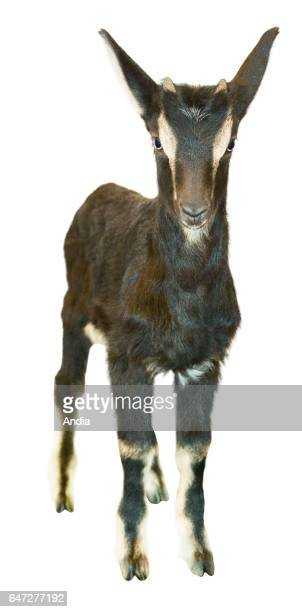 Juvenile Poitevine goat profile can be cut out Small Poitevine goat outlined
