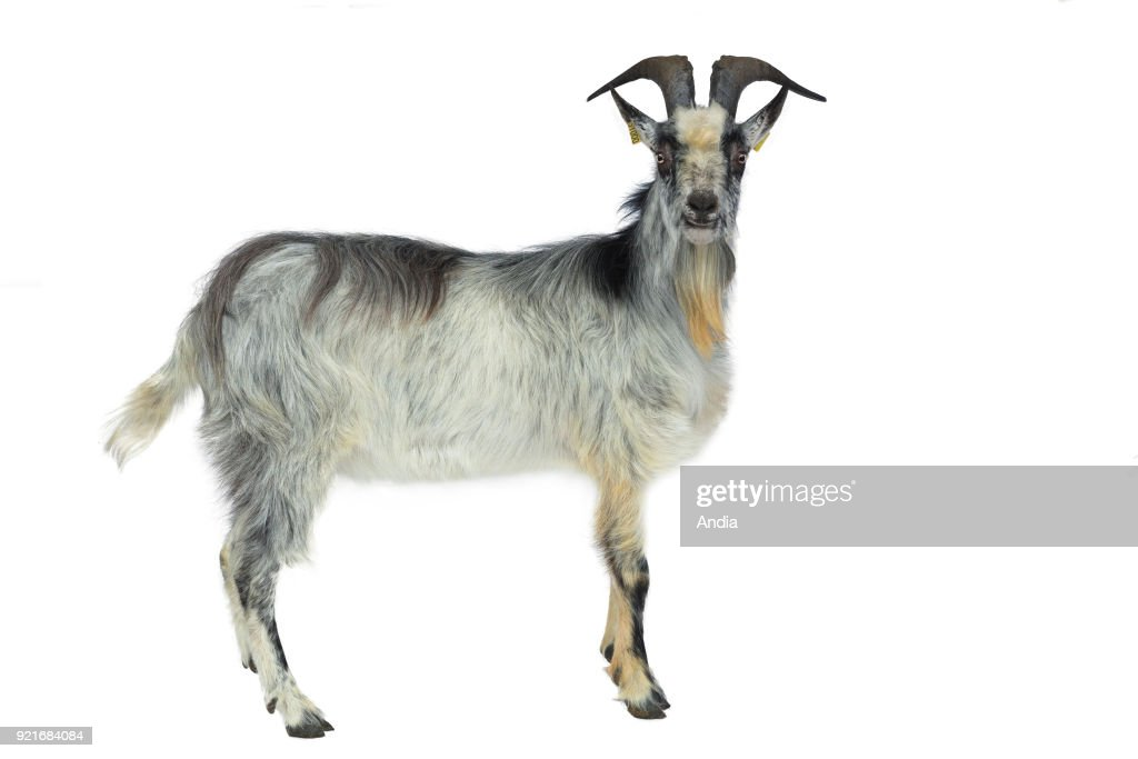 Lorraine goat, can be outlined, here a billy goat.
