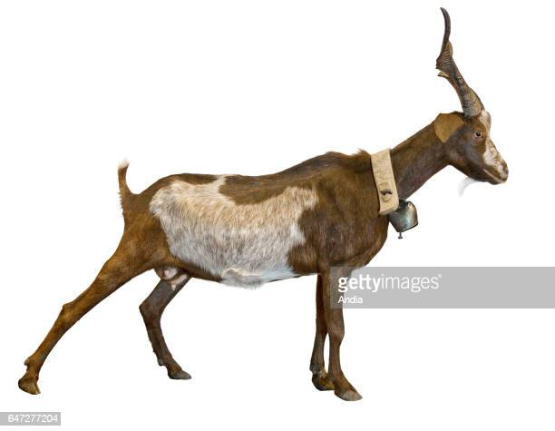 Rove goat profile can be cut out Rove goat with horns and a bell around its neck outlined