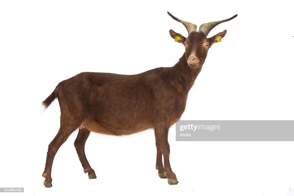 Rove goat, profile, can be cut out. Rove goat with horns and a bell around its neck, outlined.
