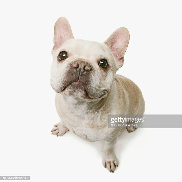 french bull dog on white background, close-up - french bulldog stock pictures, royalty-free photos & images