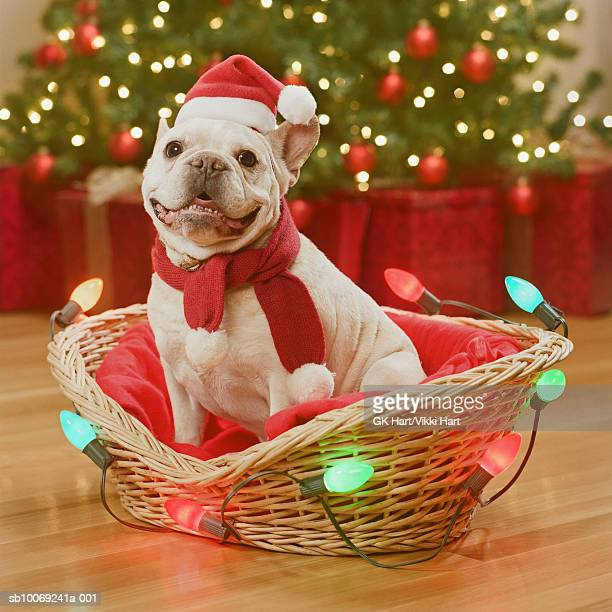 French Bull Dog sitting in basket decorated with fairy lights, close-up