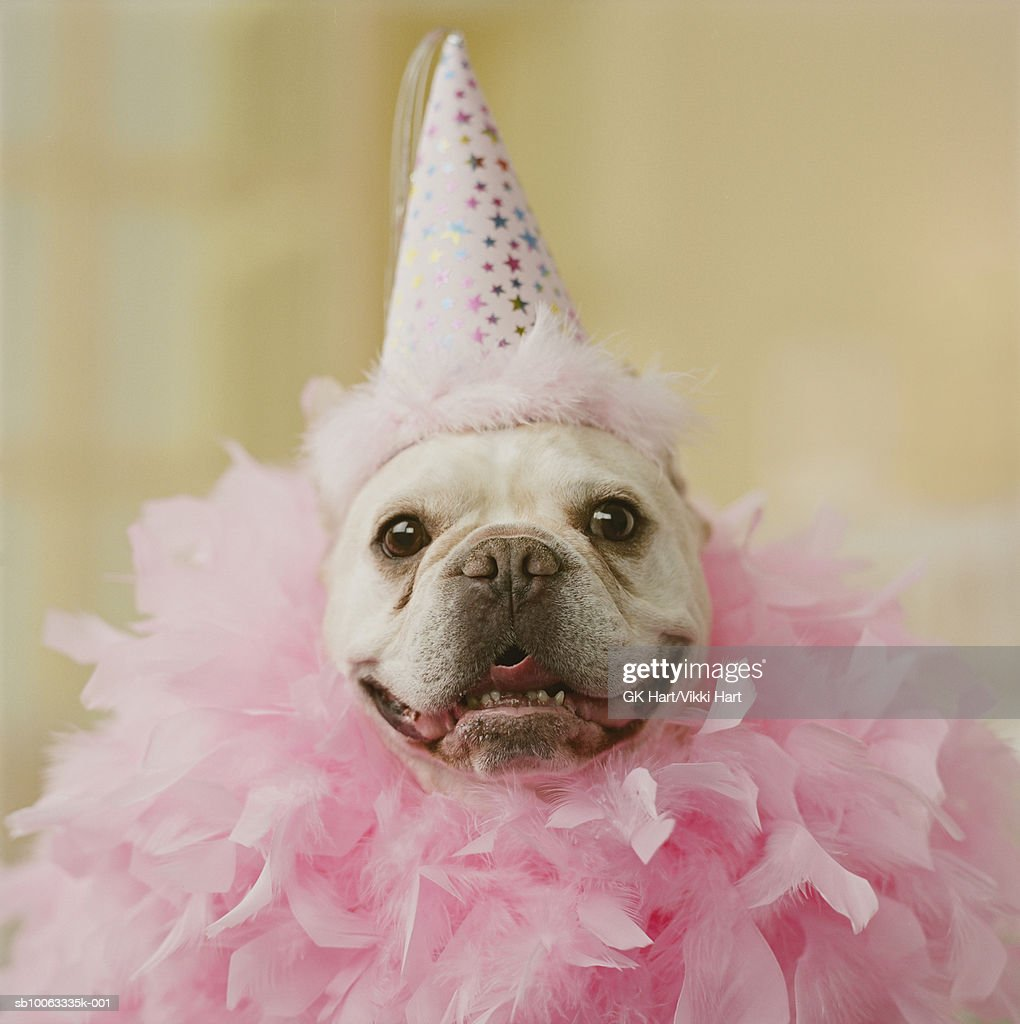 french bulldog hat french bull dog wearing party hat and feathers closeup 1299