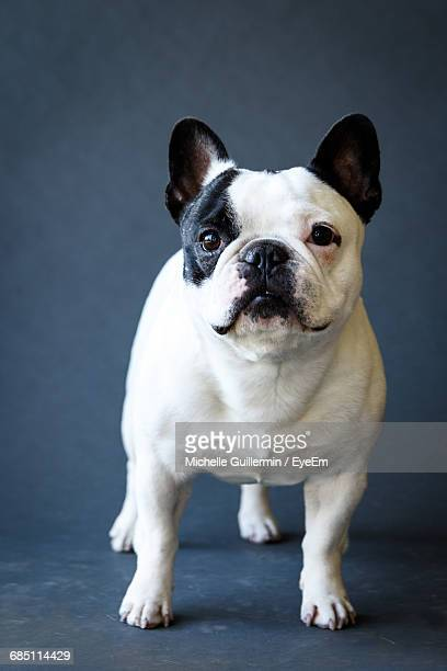 French Bulldog Against Gray Background