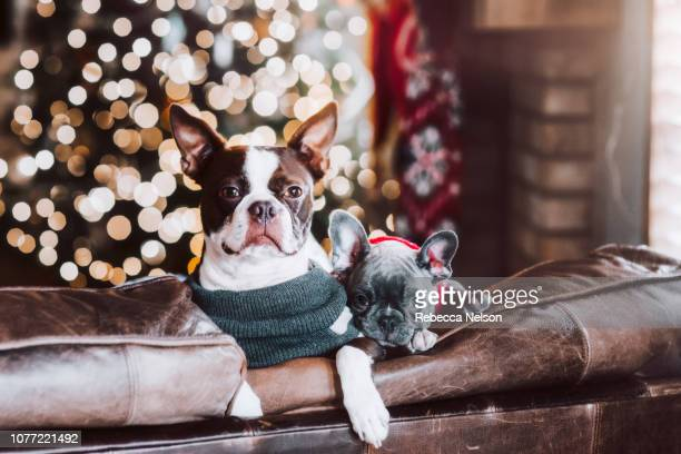 French Bulldog and Boston Terrier on sofa in front of Christmas tree
