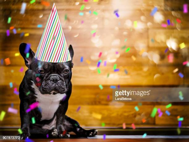 french bulldog at party - anniversary stock pictures, royalty-free photos & images