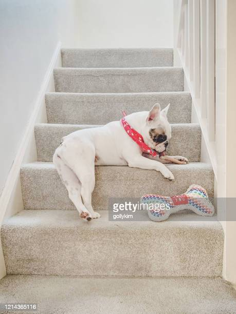 french bulldog chewing a bone on the stairs - french bulldog stock pictures, royalty-free photos & images