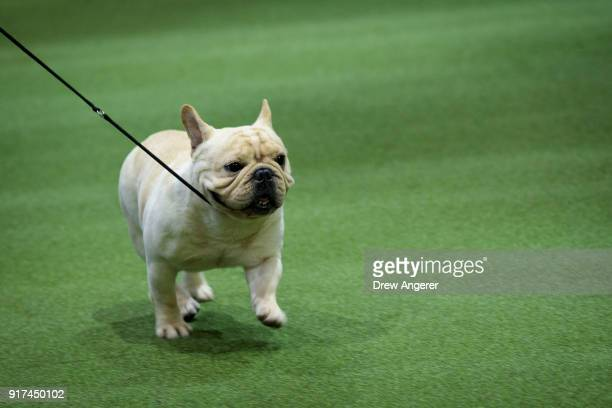 French Bulldog competes at the 142nd Westminster Kennel Club Dog Show at The Piers on February 12 2018 in New York City The show is scheduled to see...