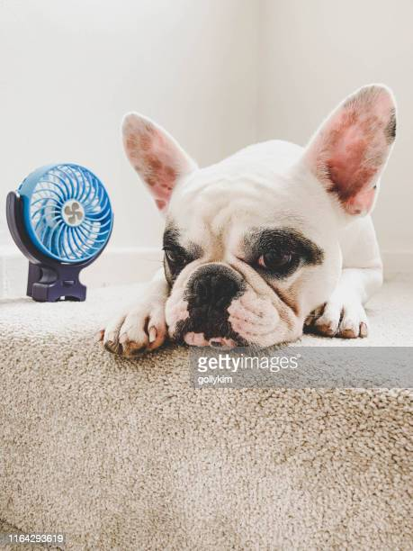 french bulldog cooling off next to a mini electric fan - heat wave stock pictures, royalty-free photos & images