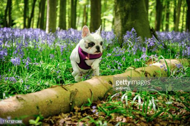 bulldog francés explorando los bosques de bluebell en badbury hill, inglaterra - animal doméstico fotografías e imágenes de stock