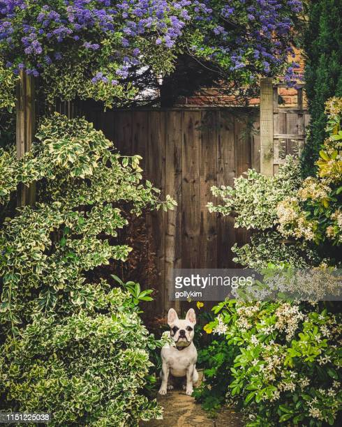 French Bulldog hiding behind bushes in the garden, England