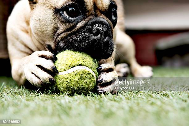 French Bulldog holding a ball with paws