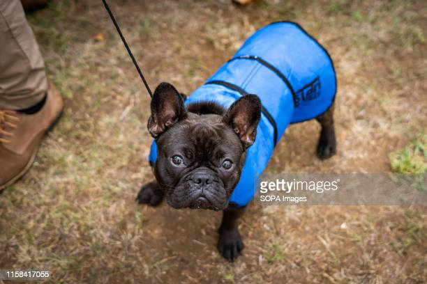 French Bulldog in action during the 38th National Dog Show of Sintra and 36th International Canine Exhibition in Lisbon