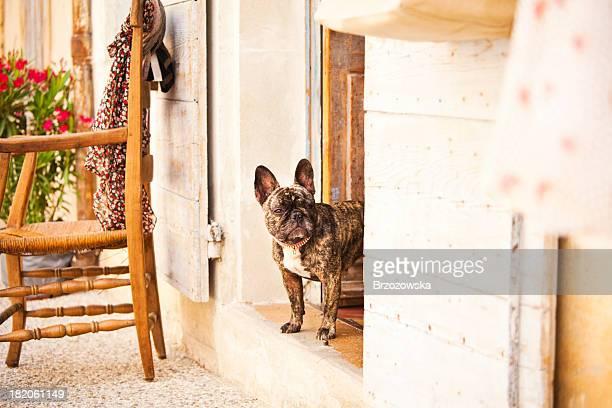 buldogue francês em frança - bulldog frances imagens e fotografias de stock