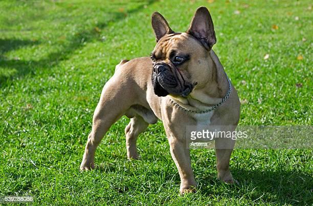 French bulldog in garden