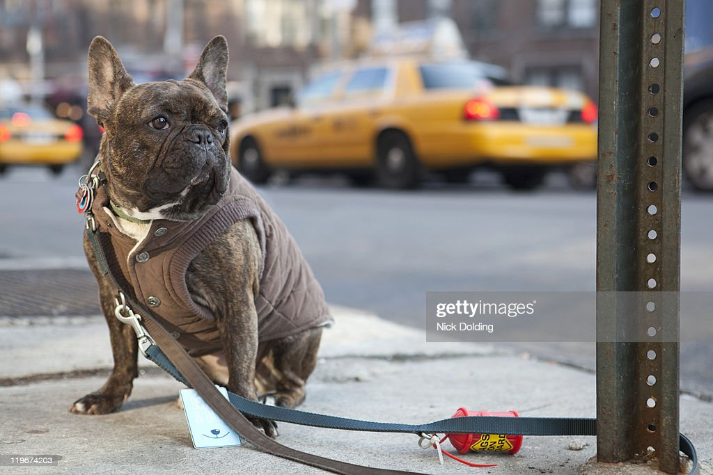 French Bulldog In New York High-Res Stock Photo - Getty Images