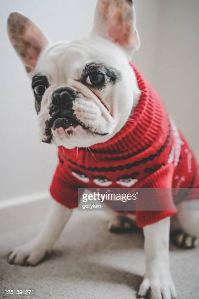 french bulldog in red christmas jumper - pet clothing stock pictures, royalty-free photos & images