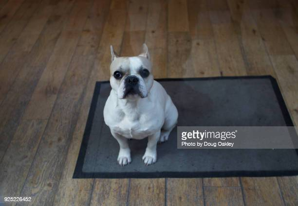 french bulldog in store window - bulldog frances imagens e fotografias de stock