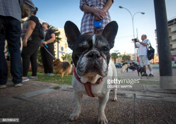 A French bulldog is pictured during a demonstration against animal abuse and condemning dogfights in Arona on the Spanish Canary island of Tenerife...