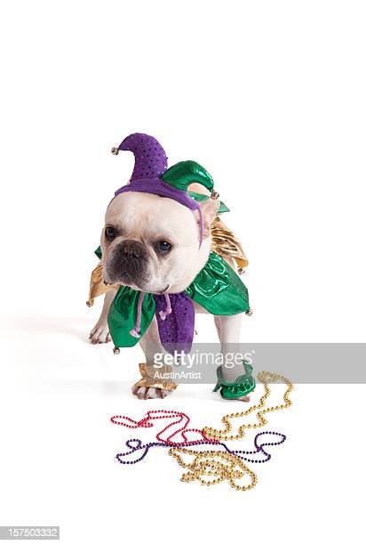 french bulldog jester - mardi gras beads stock photos and pictures