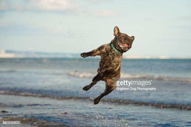 A French Bulldog jumping at the beach