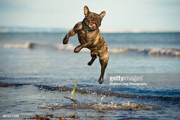 A French Bulldog jumping in water