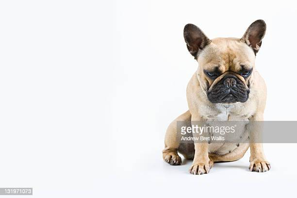 French Bulldog looking sleepy against white