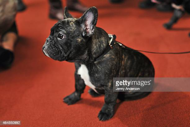 French Bulldog Louis attends the American Kennel Club Top Breeds of 2014 reveal at AKC Headquarters on February 26 2015 in New York City